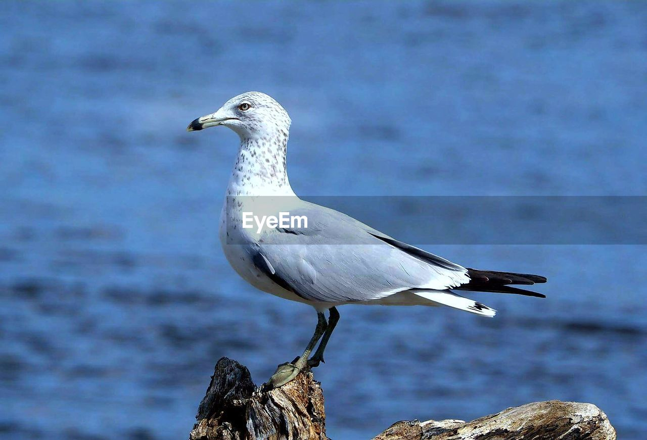 animals in the wild, bird, animal themes, one animal, animal wildlife, perching, focus on foreground, nature, day, outdoors, water, sea, no people, close-up, seagull, beauty in nature, great egret