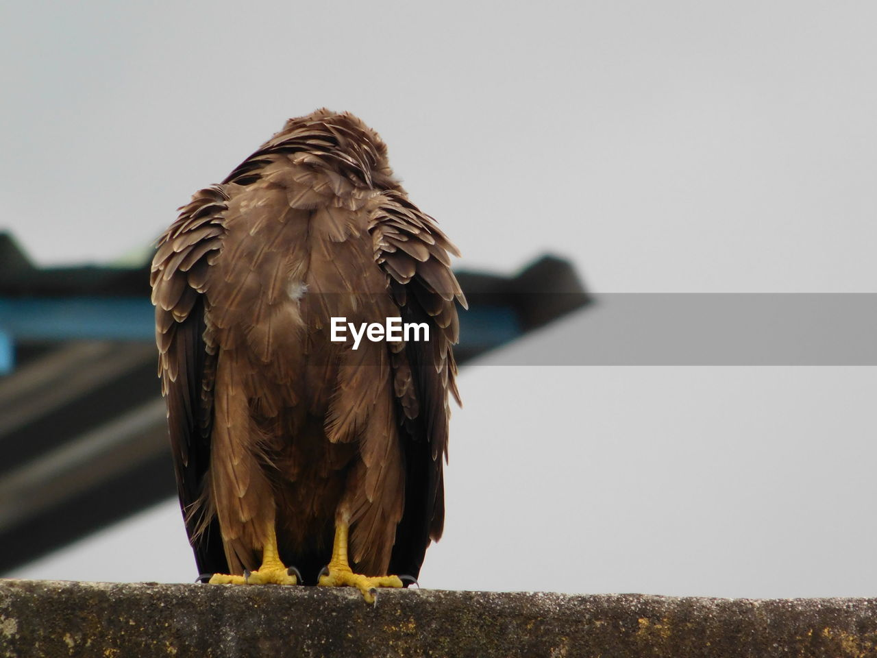 bird, vertebrate, animal themes, animal, animals in the wild, one animal, animal wildlife, bird of prey, sky, perching, copy space, clear sky, focus on foreground, nature, day, no people, close-up, eagle, outdoors, front view, eagle - bird