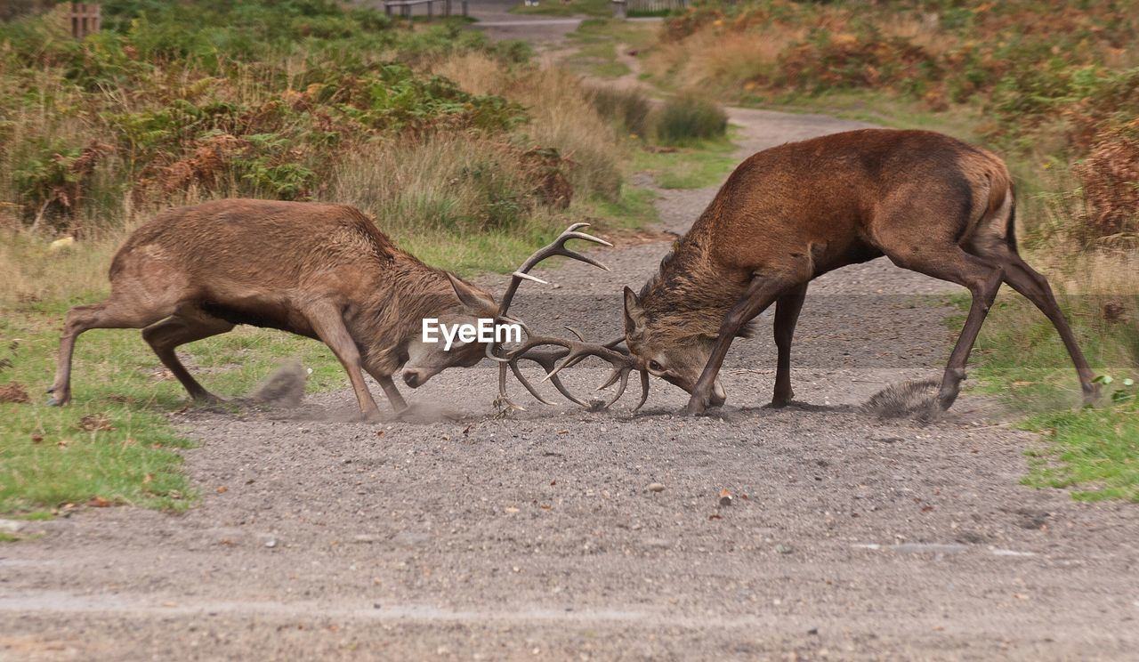 animal themes, animal, mammal, animal wildlife, animals in the wild, group of animals, two animals, field, vertebrate, land, deer, day, no people, conflict, animal behavior, nature, plant, grass, fighting, outdoors, herbivorous, animal family