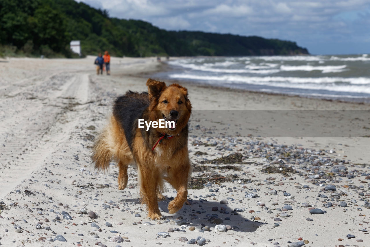 dog, canine, beach, land, pets, one animal, domestic, mammal, domestic animals, animal themes, animal, sand, sea, vertebrate, water, nature, incidental people, day, focus on foreground, outdoors
