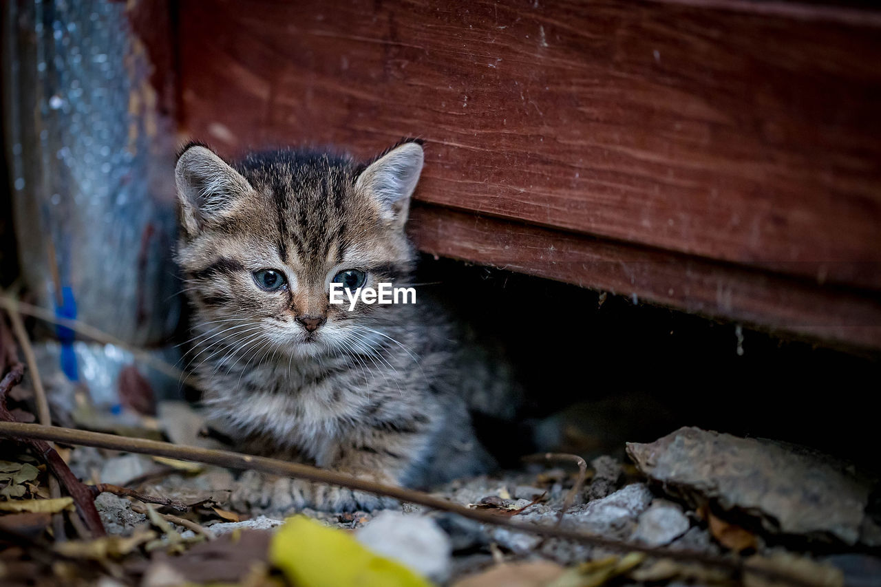 mammal, domestic cat, cat, feline, one animal, domestic animals, domestic, pets, vertebrate, looking at camera, portrait, no people, whisker, selective focus, young animal, wood - material, day