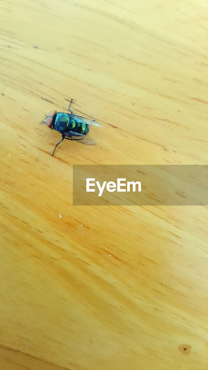 insect, invertebrate, wood - material, animal themes, animals in the wild, animal wildlife, animal, high angle view, close-up, indoors, no people, one animal, table, wood, flooring, day, fly, housefly, hardwood floor, beetle