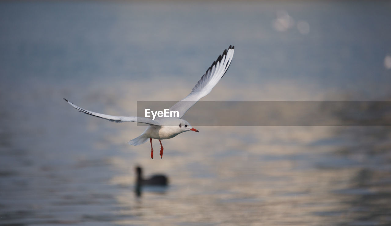 bird, flying, spread wings, animals in the wild, one animal, animal themes, water, animal wildlife, mid-air, nature, focus on foreground, sea bird, lake, day, motion, outdoors, no people, sky, swan