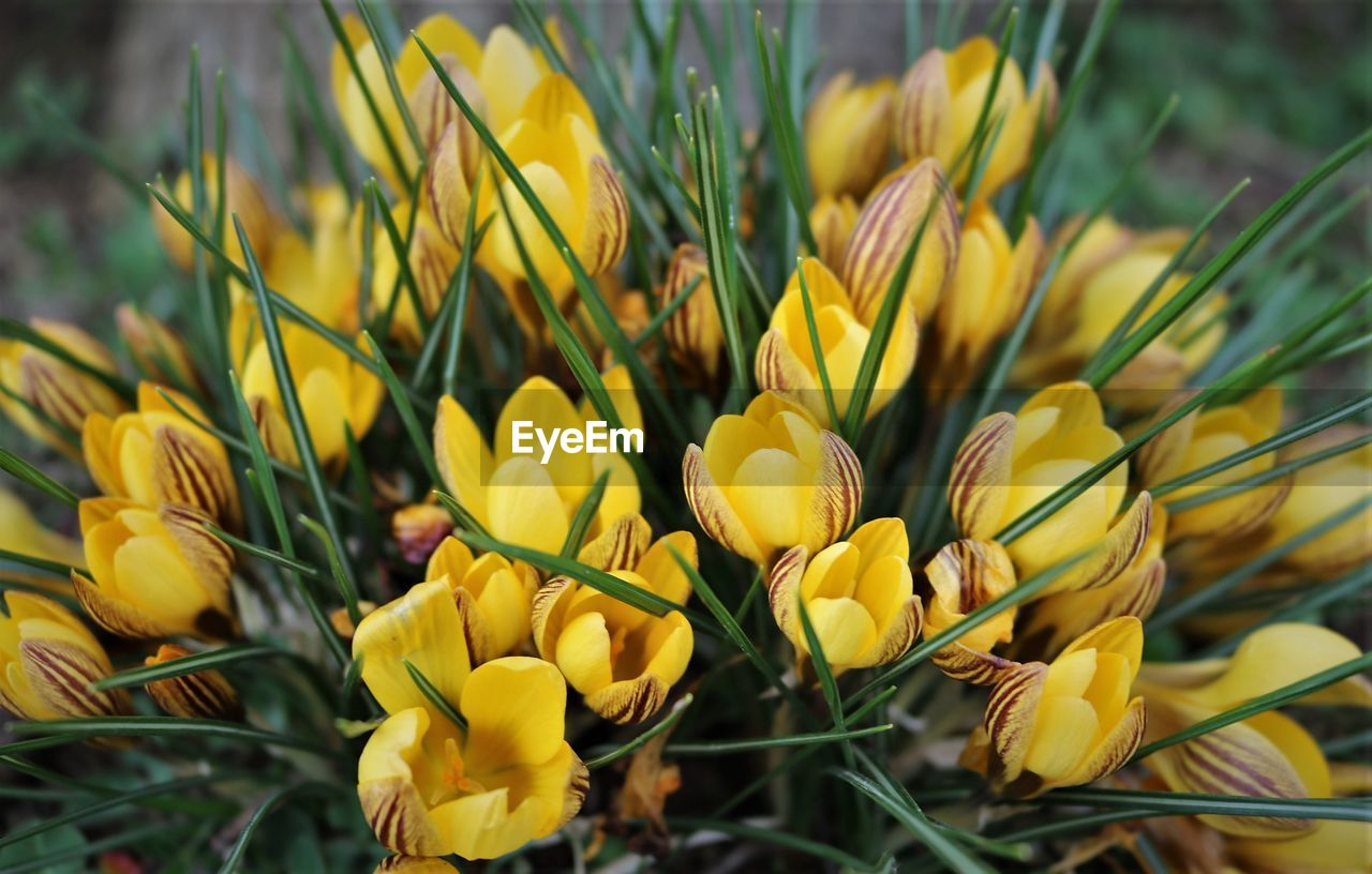 yellow, flower, plant, flowering plant, vulnerability, growth, fragility, beauty in nature, freshness, close-up, petal, flower head, inflorescence, nature, day, no people, field, land, focus on foreground, selective focus, outdoors