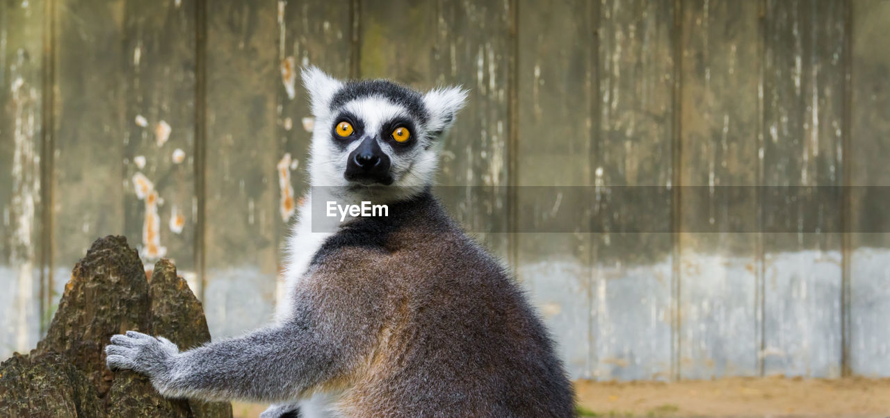 animal, animal themes, animal wildlife, animals in the wild, one animal, focus on foreground, no people, mammal, day, lemur, vertebrate, tree, nature, tree trunk, close-up, wood - material, trunk, looking, portrait, outdoors