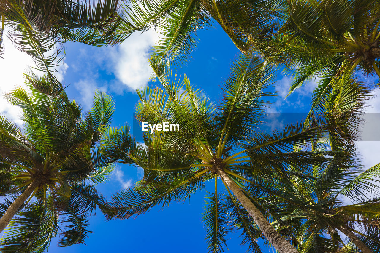 tree, plant, palm tree, tropical climate, sky, growth, low angle view, beauty in nature, tranquility, no people, nature, green color, blue, day, cloud - sky, tall - high, scenics - nature, outdoors, tranquil scene, leaf, coconut palm tree, tropical tree, palm leaf, directly below