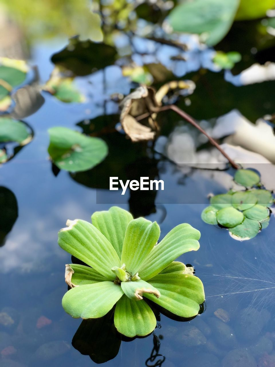 plant, growth, flower, leaf, flowering plant, beauty in nature, plant part, freshness, fragility, nature, vulnerability, green color, day, close-up, focus on foreground, no people, lake, bud, water lily, outdoors, flower head, leaves