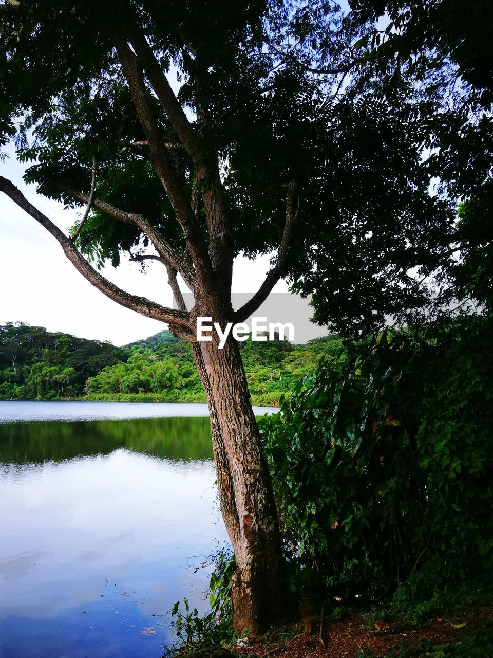 tree, nature, tree trunk, growth, beauty in nature, tranquility, tranquil scene, outdoors, water, day, scenics, lake, branch, no people, green color, sky