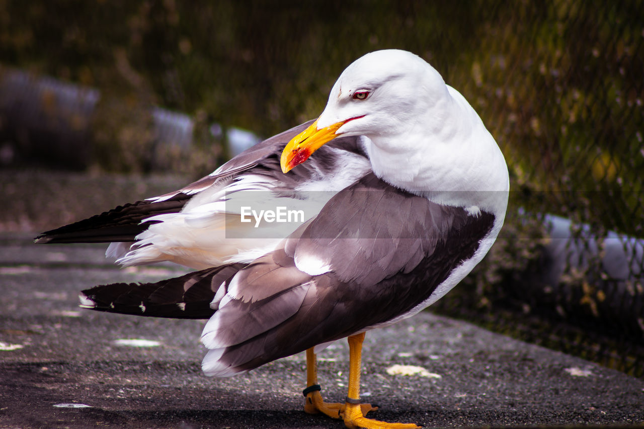 bird, animal wildlife, animal themes, animal, animals in the wild, vertebrate, focus on foreground, day, no people, close-up, one animal, beak, nature, white color, outdoors, water, perching, seagull, side view