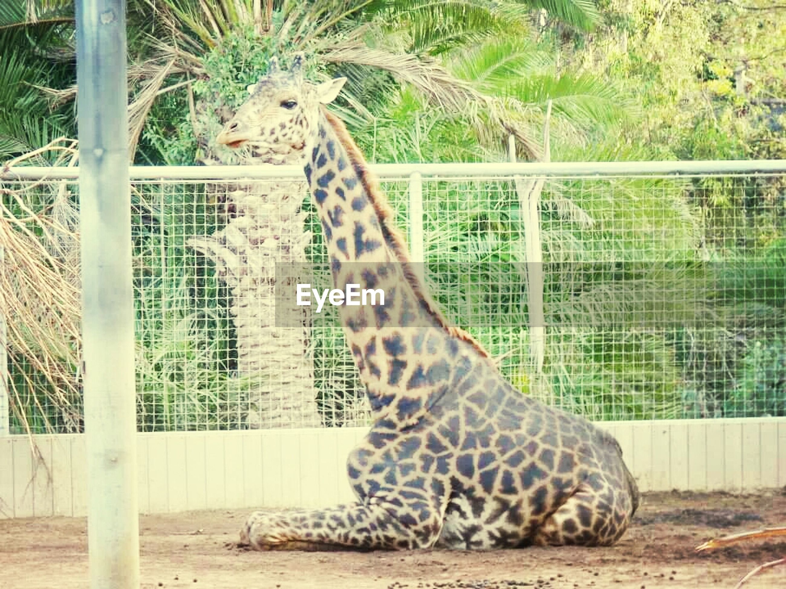 animal themes, one animal, mammal, relaxation, animal markings, grass, day, plant, zoo, wildlife, no people, animals in the wild, nature, outdoors, fence, feline, striped, lying down, field, safari animals