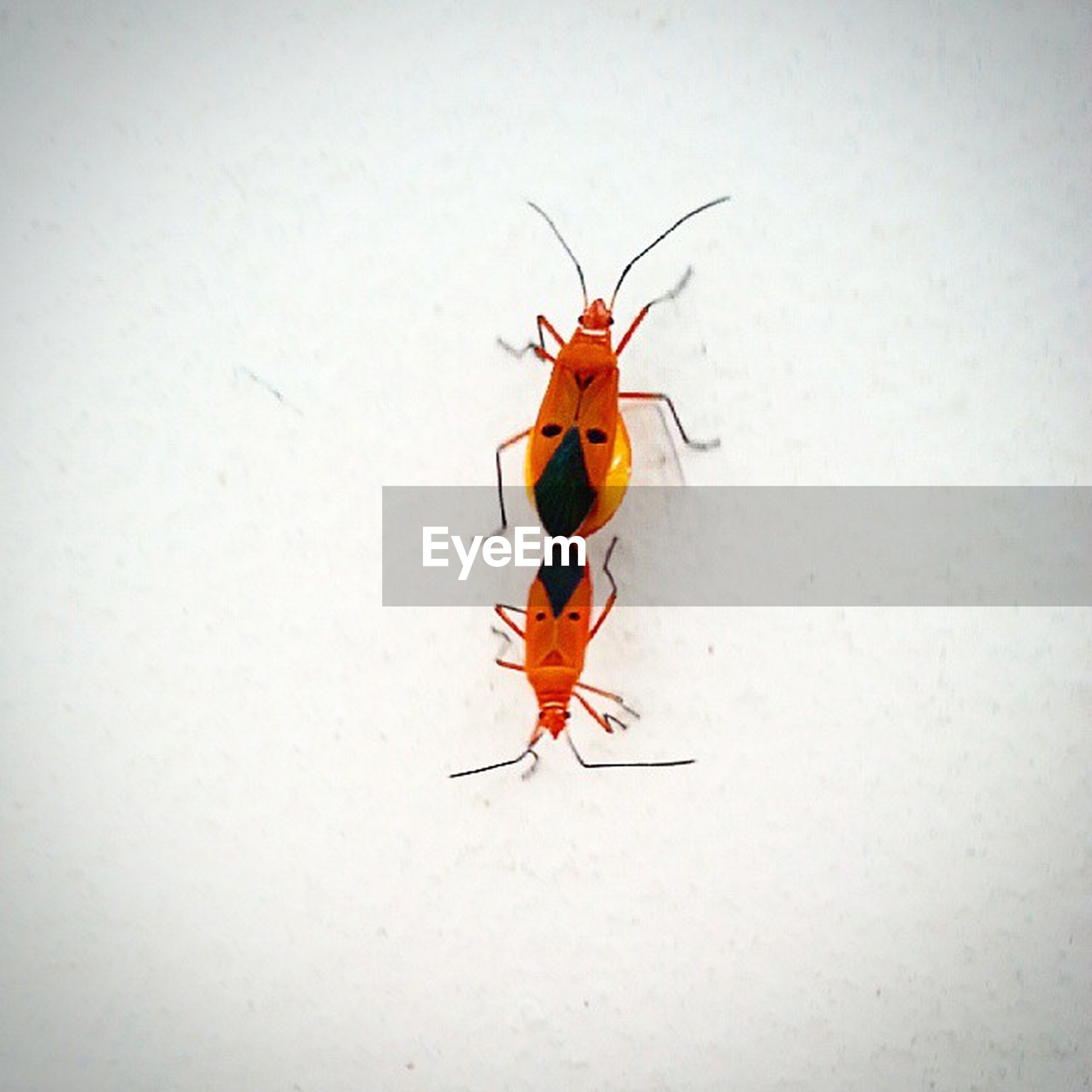 insect, animal themes, one animal, animals in the wild, wildlife, high angle view, full length, copy space, indoors, no people, wall - building feature, close-up, studio shot, day, nature, animal wing, animal markings, black color, two animals