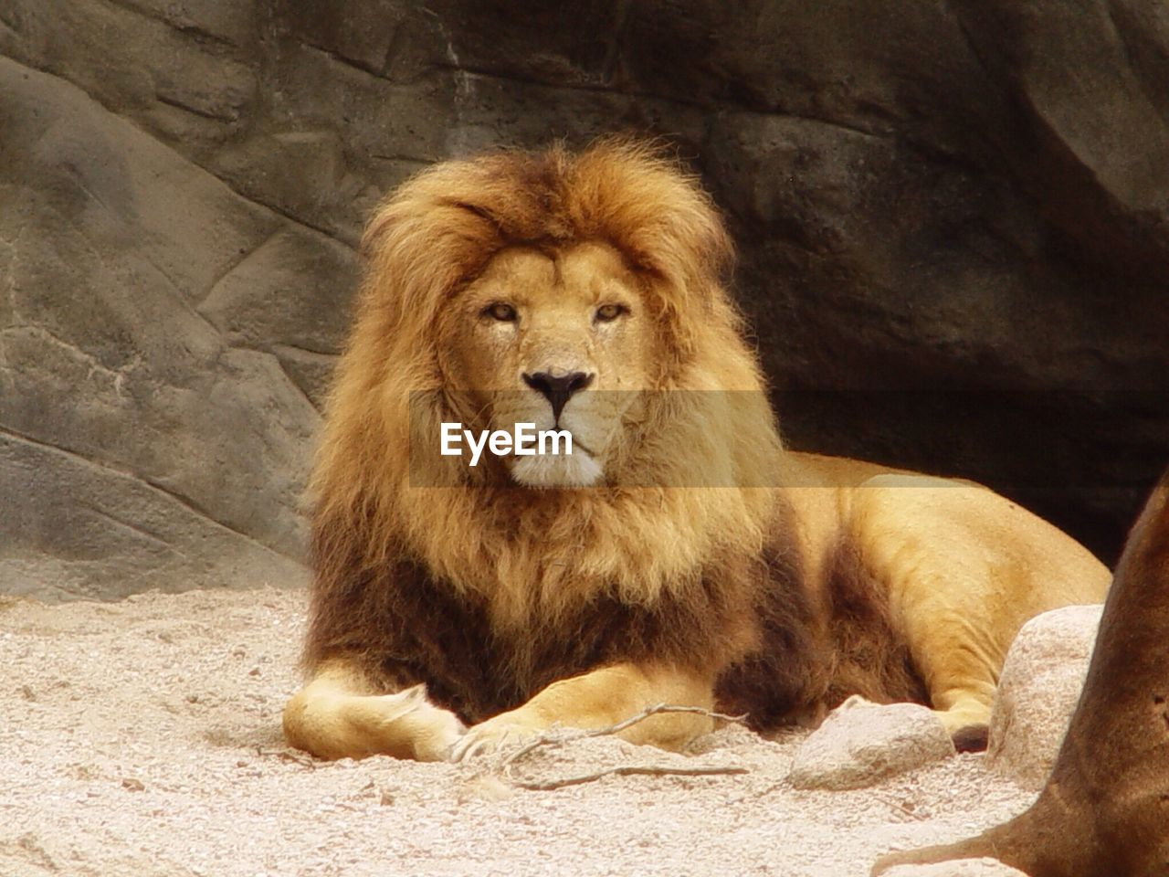 animal themes, one animal, relaxation, lion, mammal, animals in the wild, rock - object, day, no people, outdoors