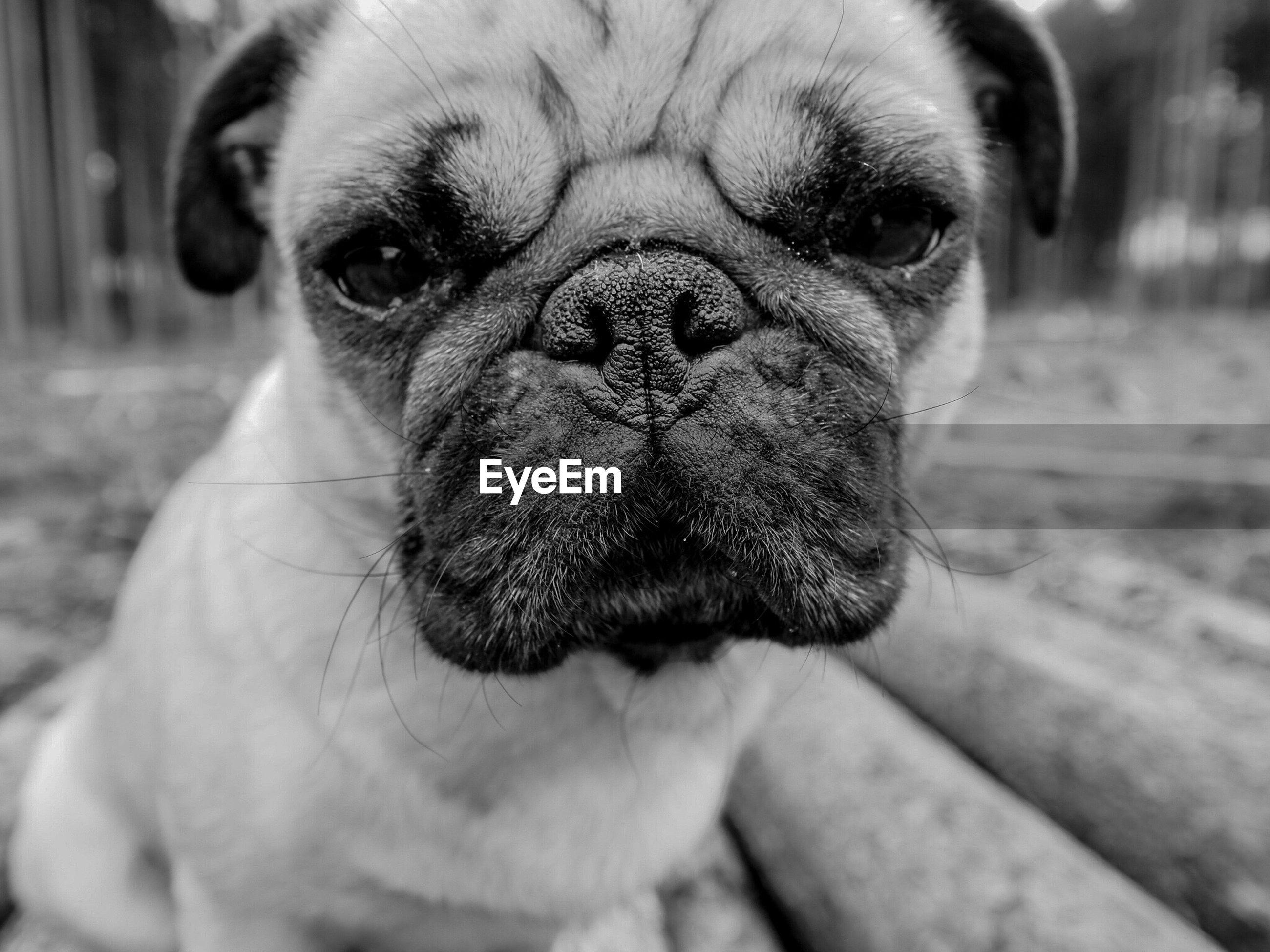 Close-up portrait of pug