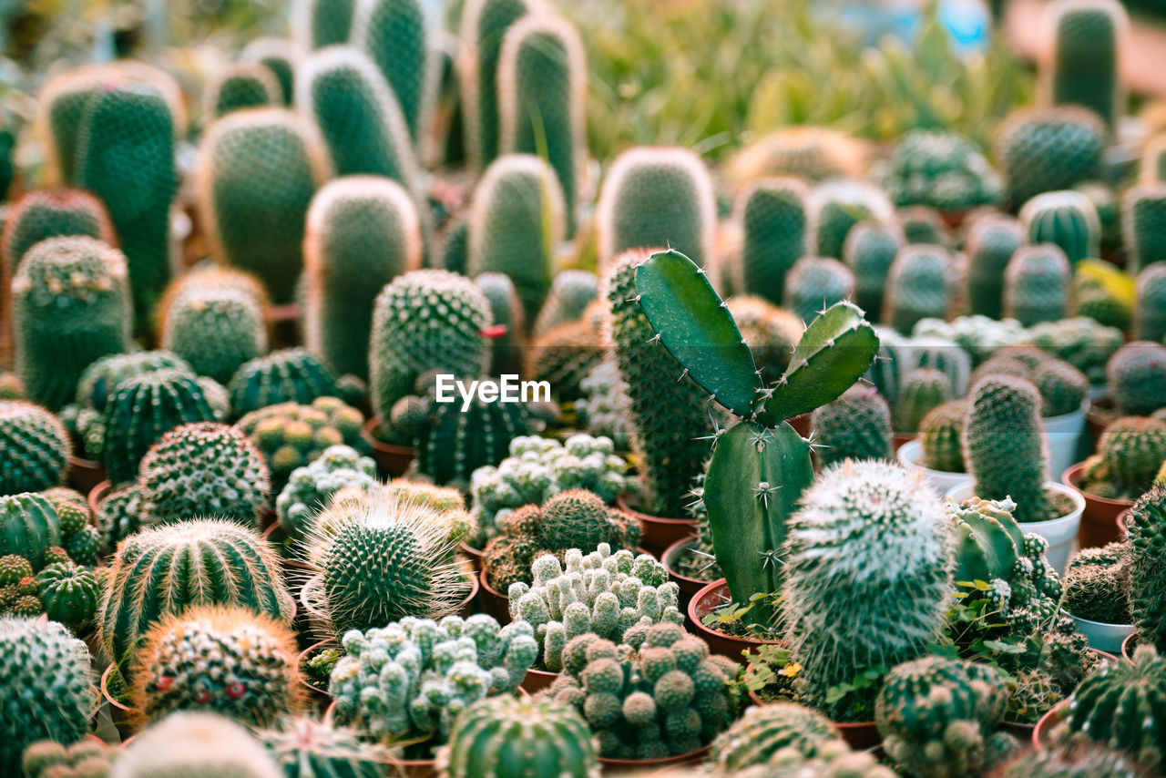 Close-up of succulent plant for sale in market