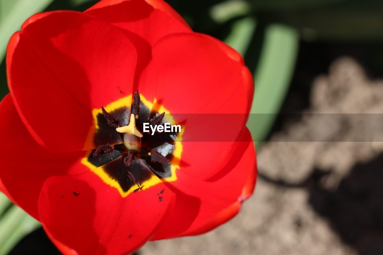flower, petal, flower head, beauty in nature, fragility, nature, red, plant, freshness, growth, close-up, outdoors, day, focus on foreground, no people, blooming, poppy