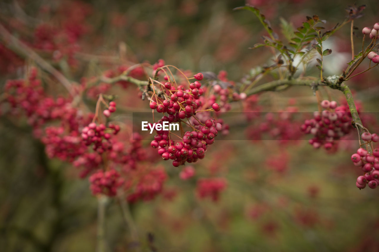 growth, fruit, red, nature, growing, beauty in nature, focus on foreground, tree, plant, freshness, outdoors, food and drink, day, no people, close-up, rowanberry, flower, fragility