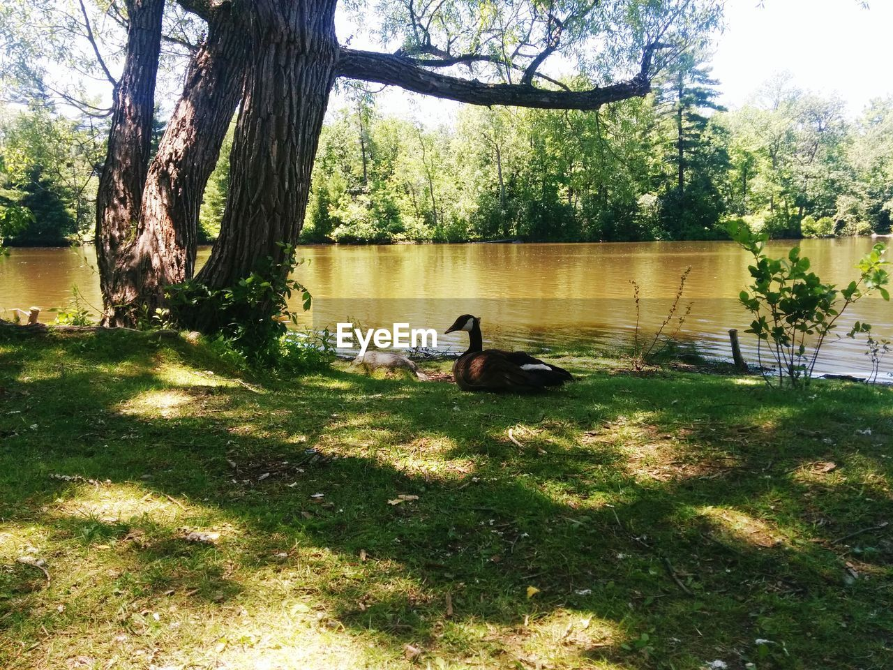 tree, grass, lake, animal themes, water, nature, bird, day, animals in the wild, growth, outdoors, lakeshore, goose, park - man made space, sunlight, beauty in nature, tree trunk, togetherness, no people, swimming, swan