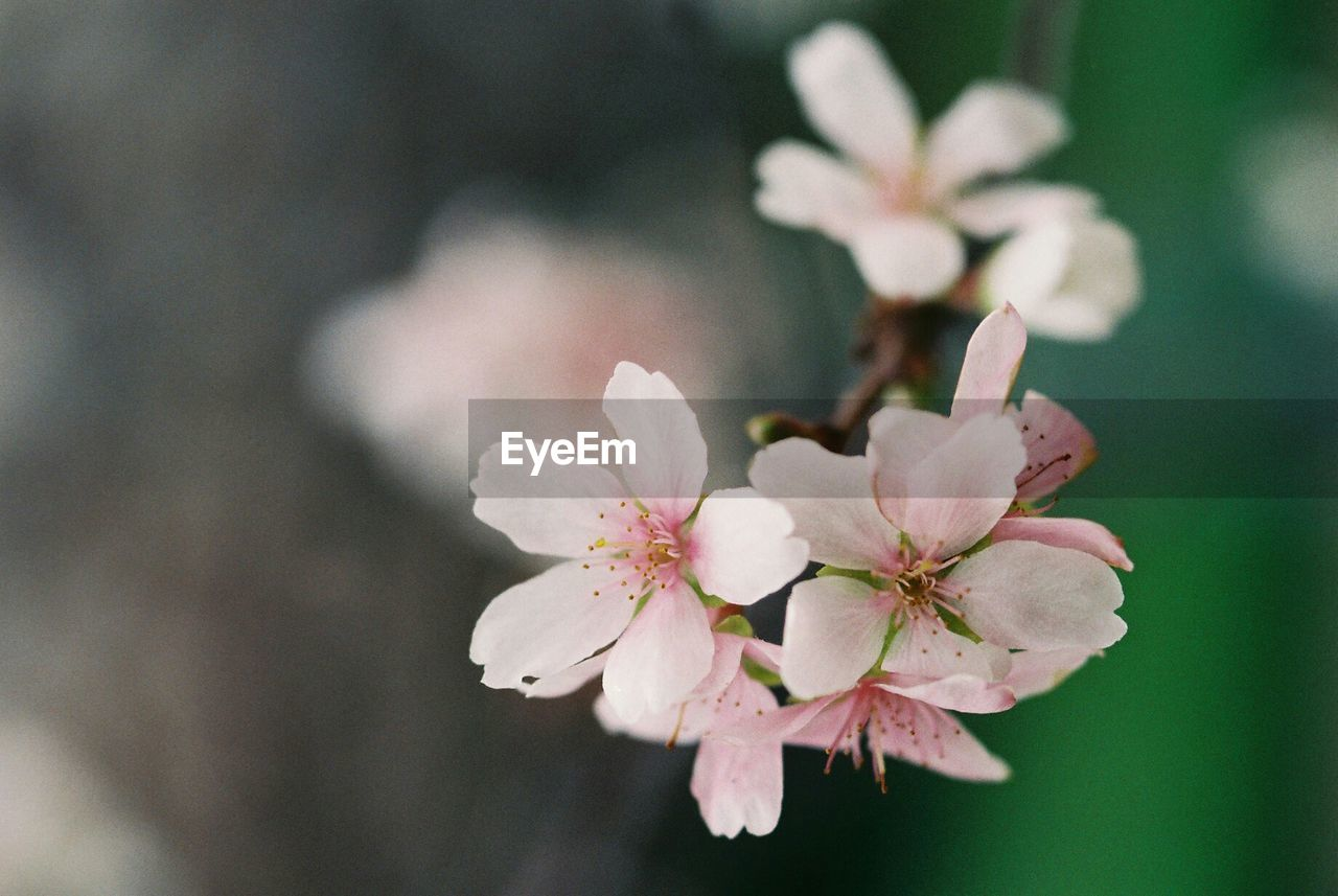 flower, growth, nature, beauty in nature, blossom, fragility, apple blossom, petal, freshness, flower head, no people, close-up, day, springtime, plant, blooming, branch, outdoors, tree
