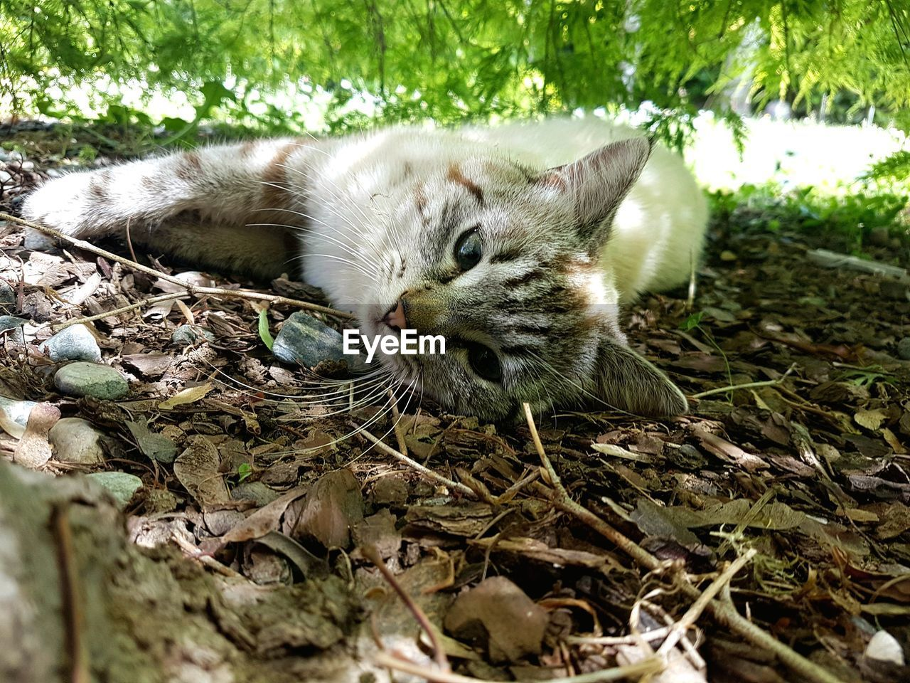 animal themes, one animal, mammal, domestic cat, lying down, outdoors, day, no people, domestic animals, relaxation, feline, pets, close-up, grass, nature