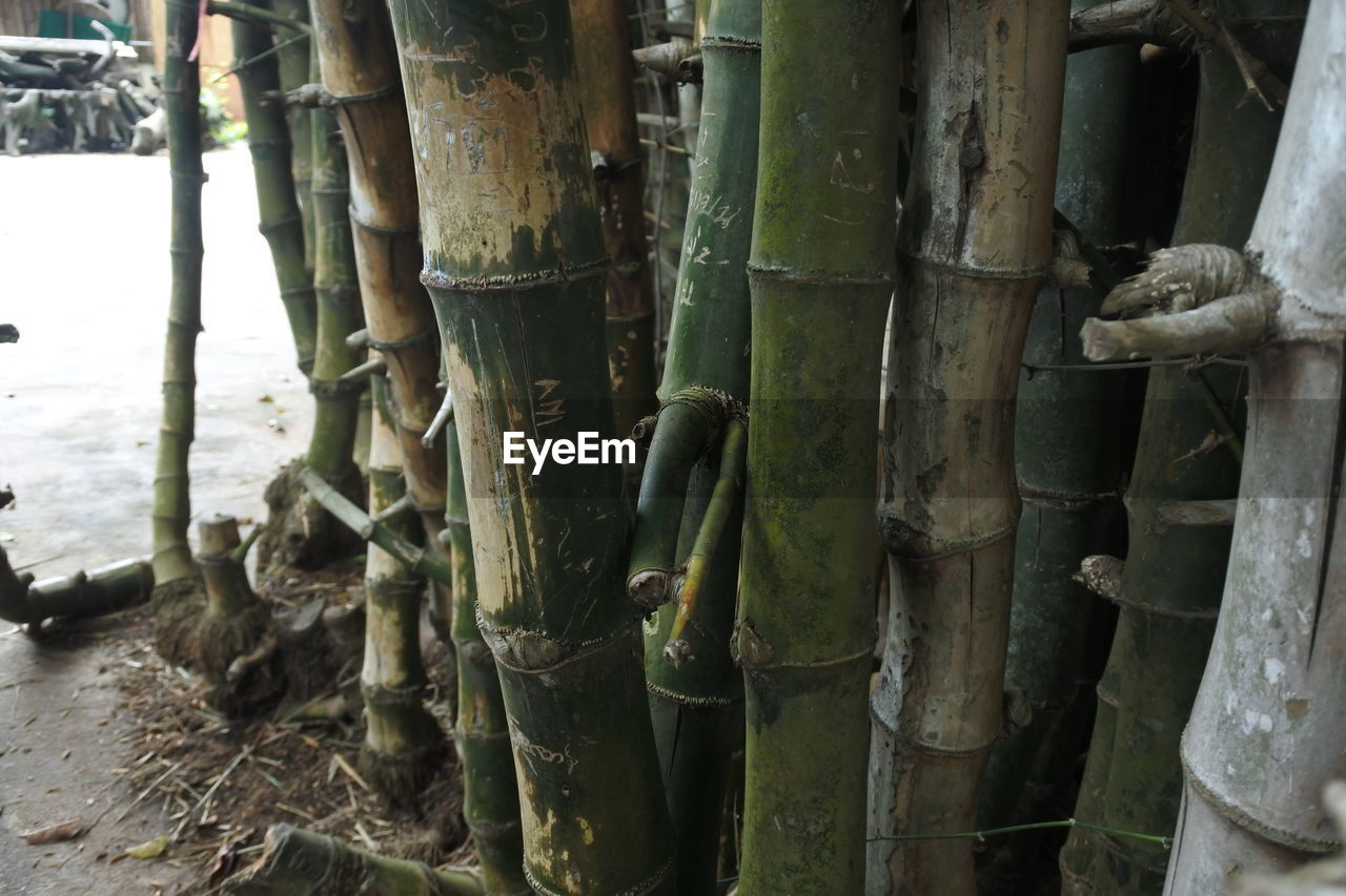 no people, plant, growth, nature, land, day, close-up, forest, tree, bamboo, bamboo - plant, focus on foreground, outdoors, beauty in nature, tranquility, tree trunk, green color, trunk, bamboo grove, field