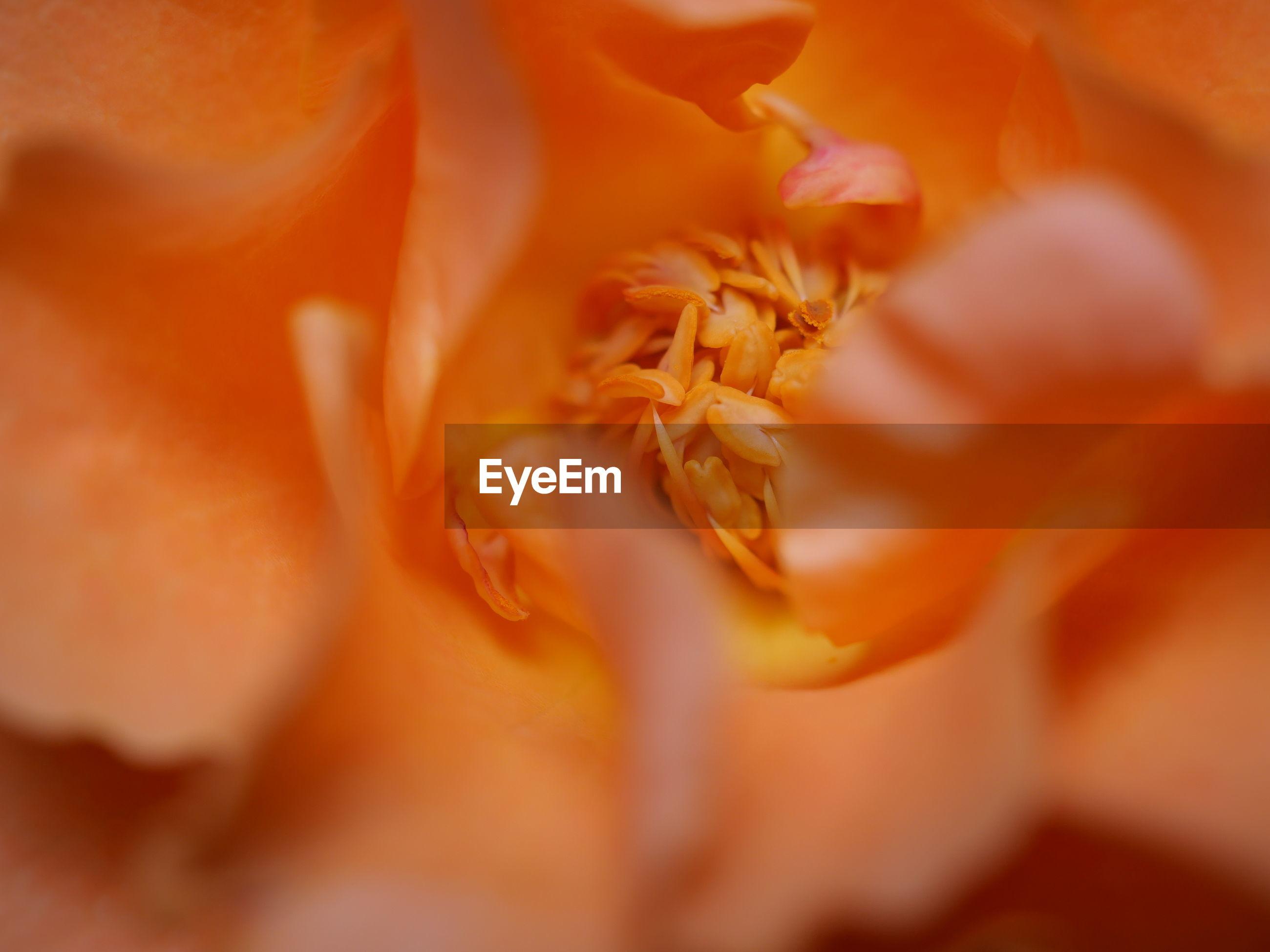 Close-up of orange rose flower