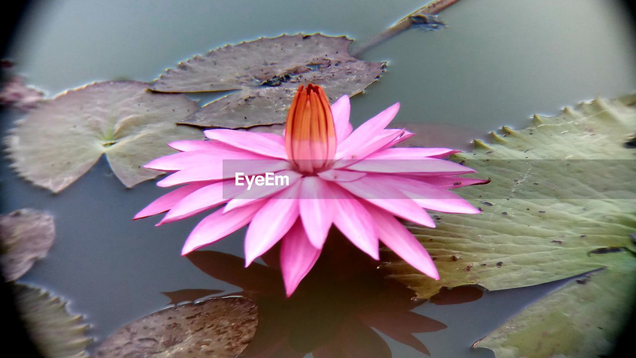 flower, flowering plant, petal, vulnerability, close-up, freshness, flower head, fragility, beauty in nature, plant, inflorescence, pink color, growth, water lily, nature, no people, leaf, pollen, plant part, lotus water lily, pollination