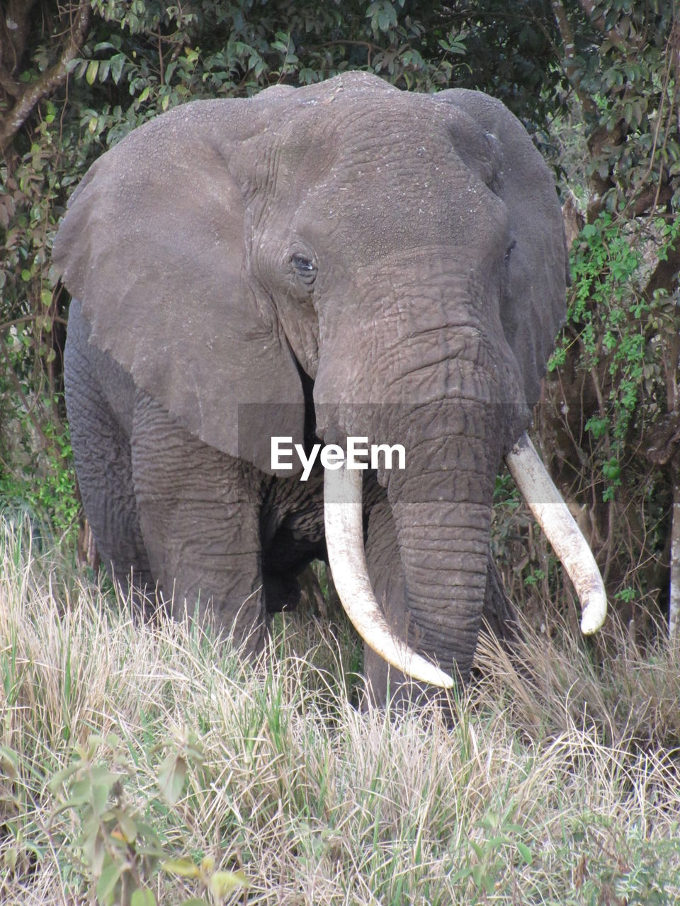 animal themes, animal, elephant, mammal, animals in the wild, animal wildlife, one animal, grass, plant, land, no people, field, day, animal body part, nature, vertebrate, tusk, african elephant, domestic animals, outdoors, animal trunk, herbivorous, animal head