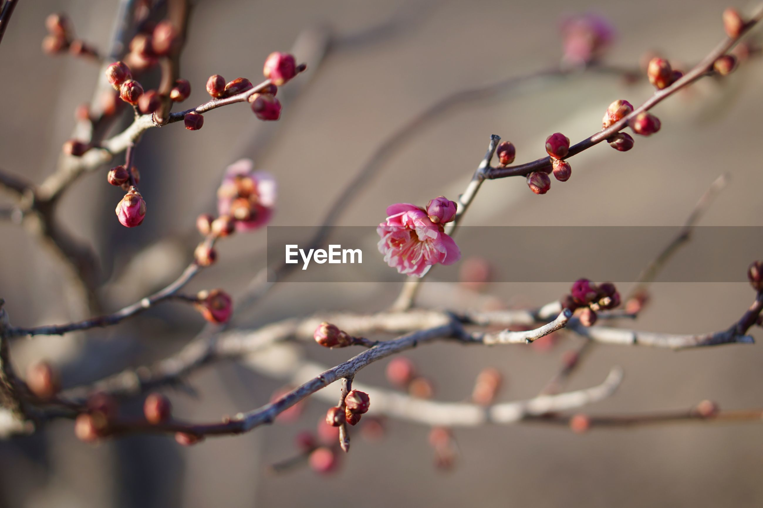plant, growth, beauty in nature, close-up, selective focus, branch, flower, tree, focus on foreground, fragility, freshness, flowering plant, vulnerability, no people, twig, nature, day, blossom, petal, pink color, outdoors, springtime, plum blossom, flower head, cherry tree, cherry blossom