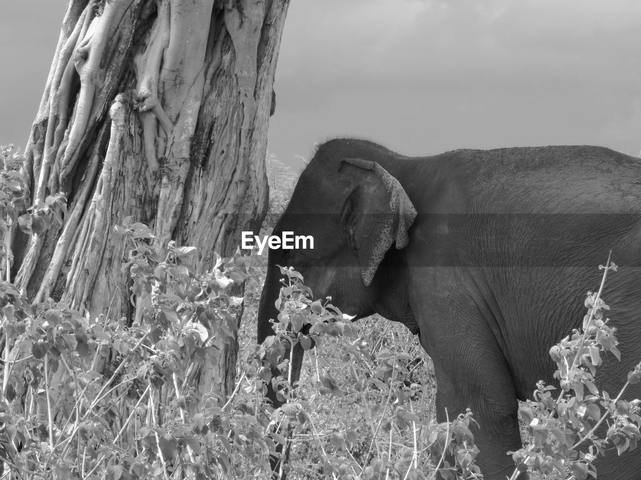 elephant, nature, animal themes, field, outdoors, one animal, no people, day, mammal, tree trunk, grass, animal trunk, growth, animals in the wild, tree, beauty in nature, sky, close-up