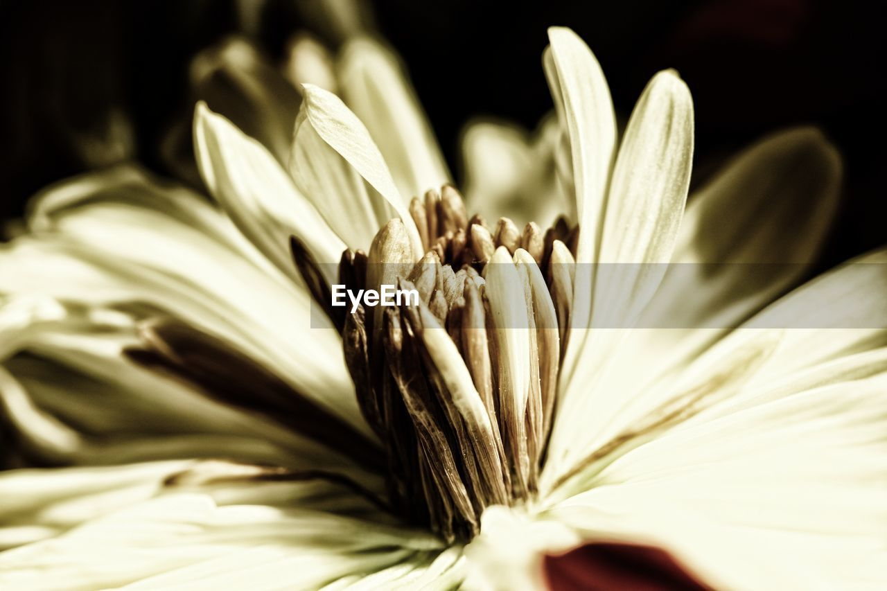 flower, flowering plant, plant, vulnerability, fragility, petal, freshness, beauty in nature, growth, close-up, flower head, inflorescence, selective focus, pollen, no people, nature, white color, indoors, botany, black background, softness