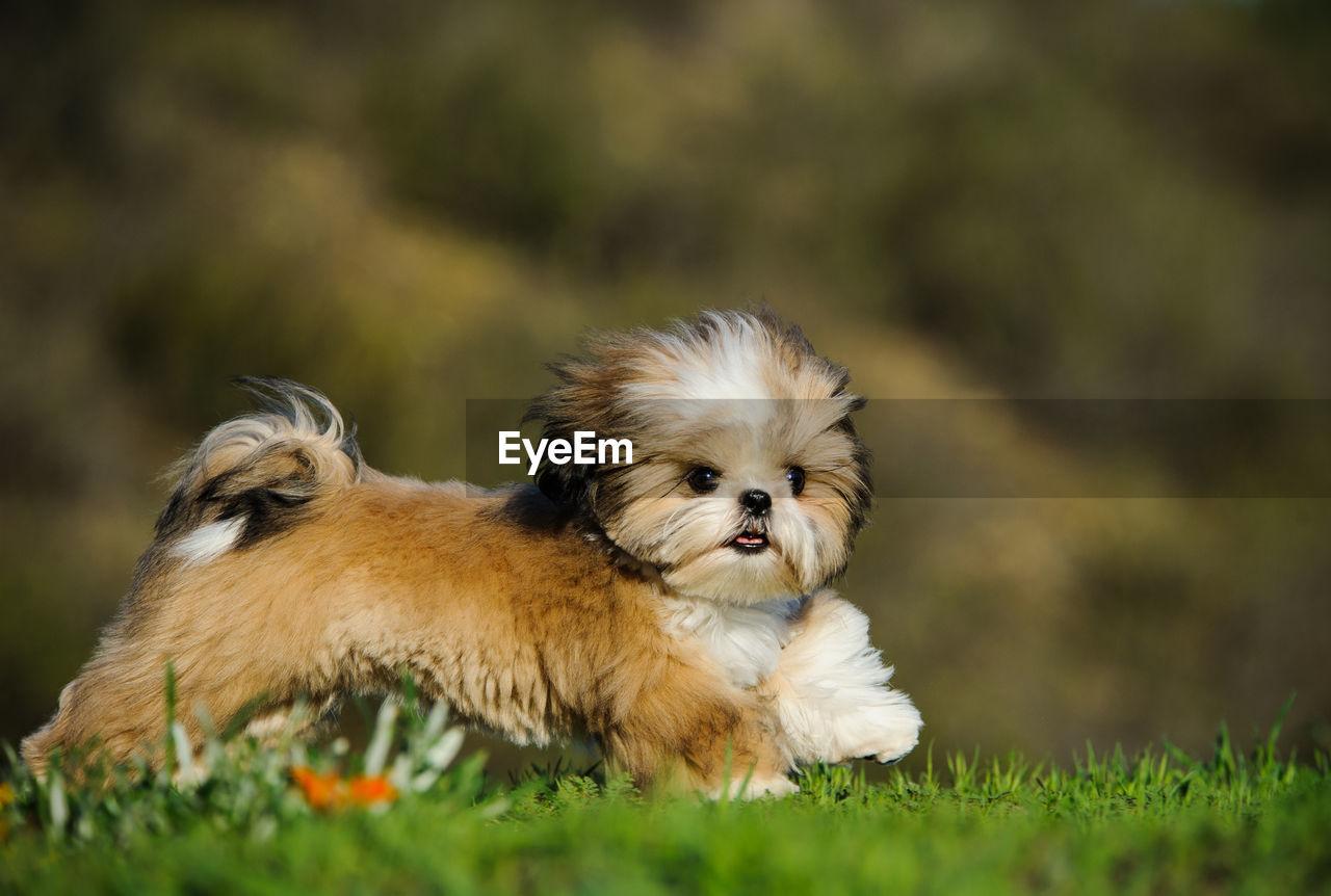 Shih Tzu Running On Grass