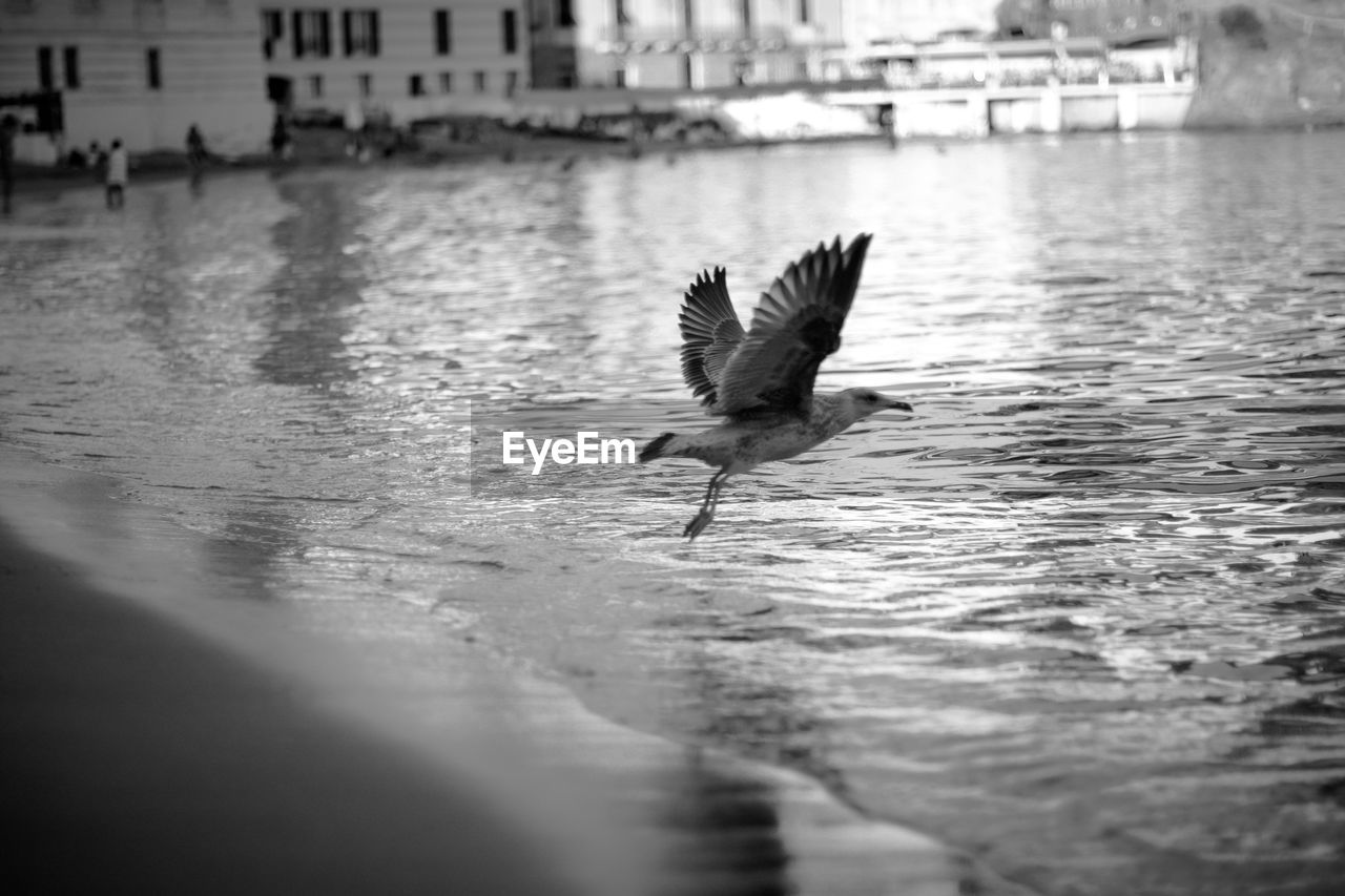 water, vertebrate, animal themes, animal, bird, animals in the wild, animal wildlife, flying, spread wings, one animal, no people, selective focus, waterfront, nature, reflection, day, lake, city, outdoors, seagull, flapping