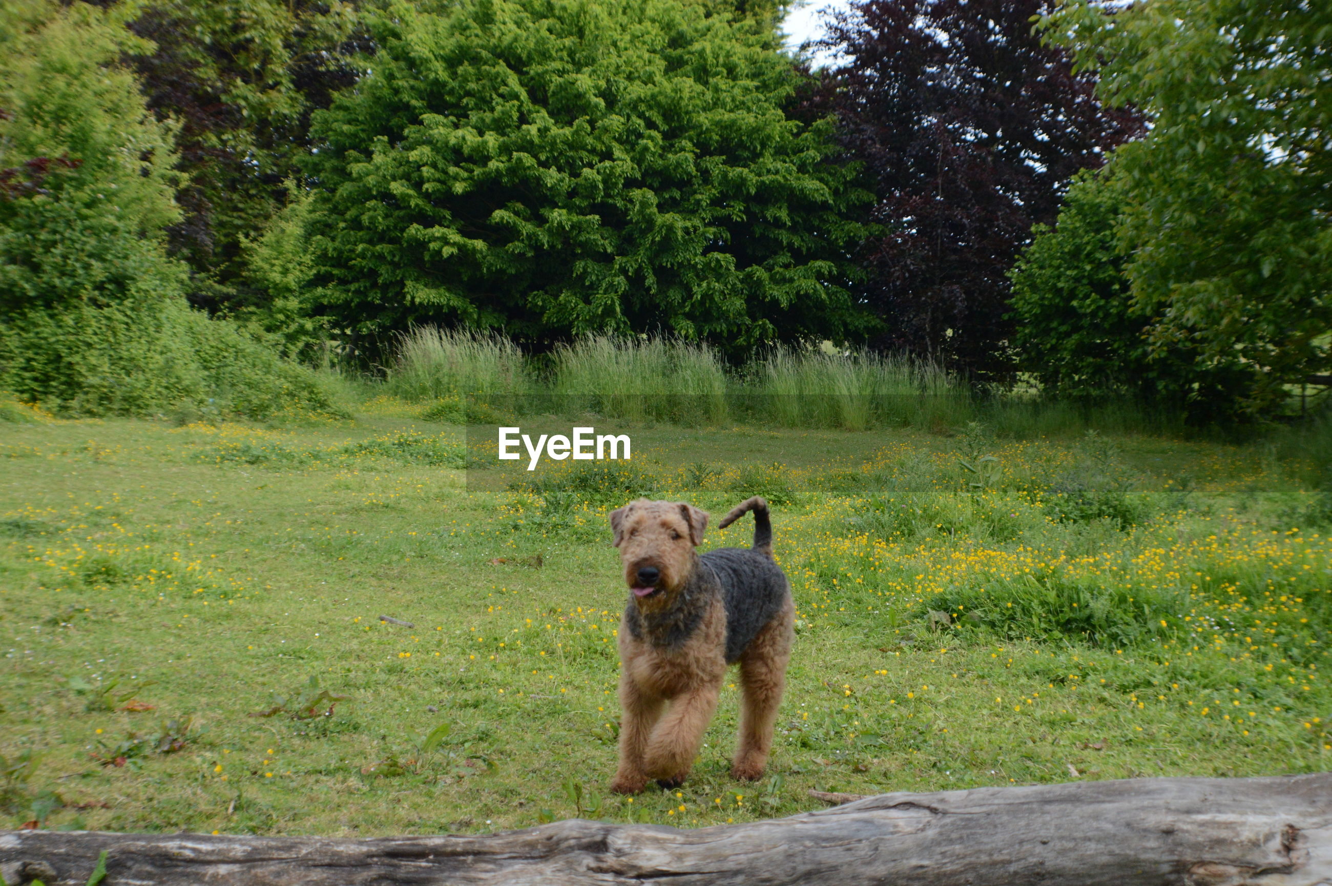 Wire fox terrier on field against trees