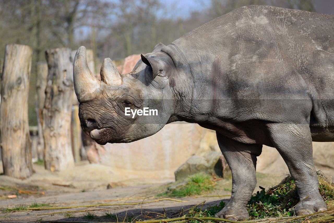 one animal, animals in the wild, animal wildlife, mammal, animal themes, outdoors, day, no people, nature, safari animals, rhinoceros, tree, close-up