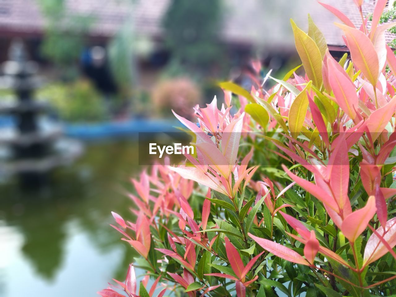 plant, beauty in nature, growth, flower, flowering plant, freshness, close-up, fragility, vulnerability, petal, nature, day, leaf, plant part, water, focus on foreground, no people, selective focus, flower head, outdoors