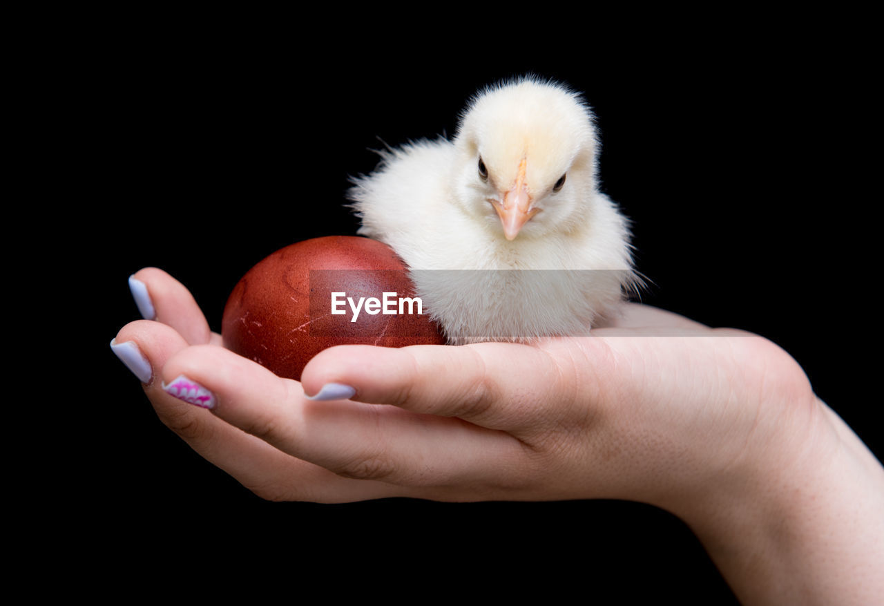 Cropped Hand Holding Baby Chicken With Egg Against Black Background
