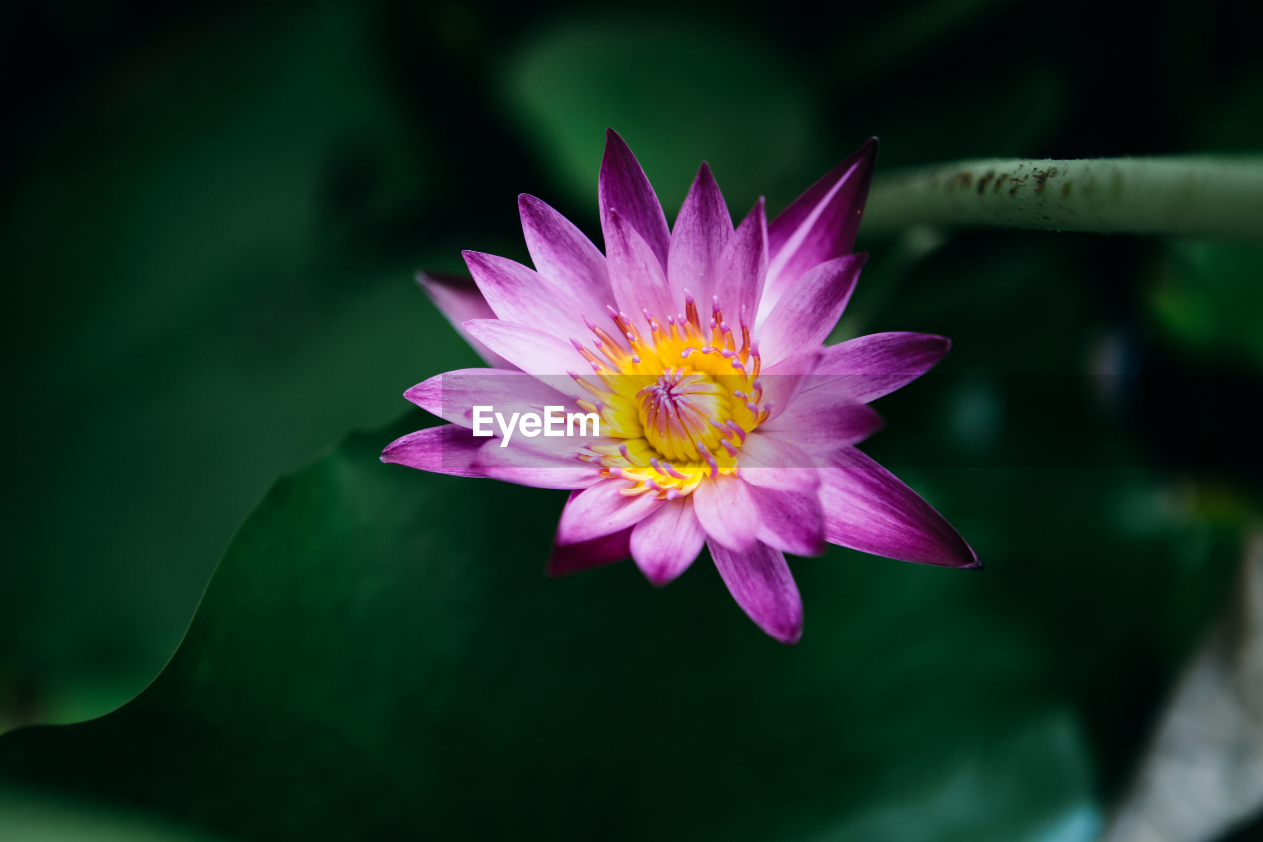 CLOSE-UP OF PURPLE WATER LILY IN GARDEN