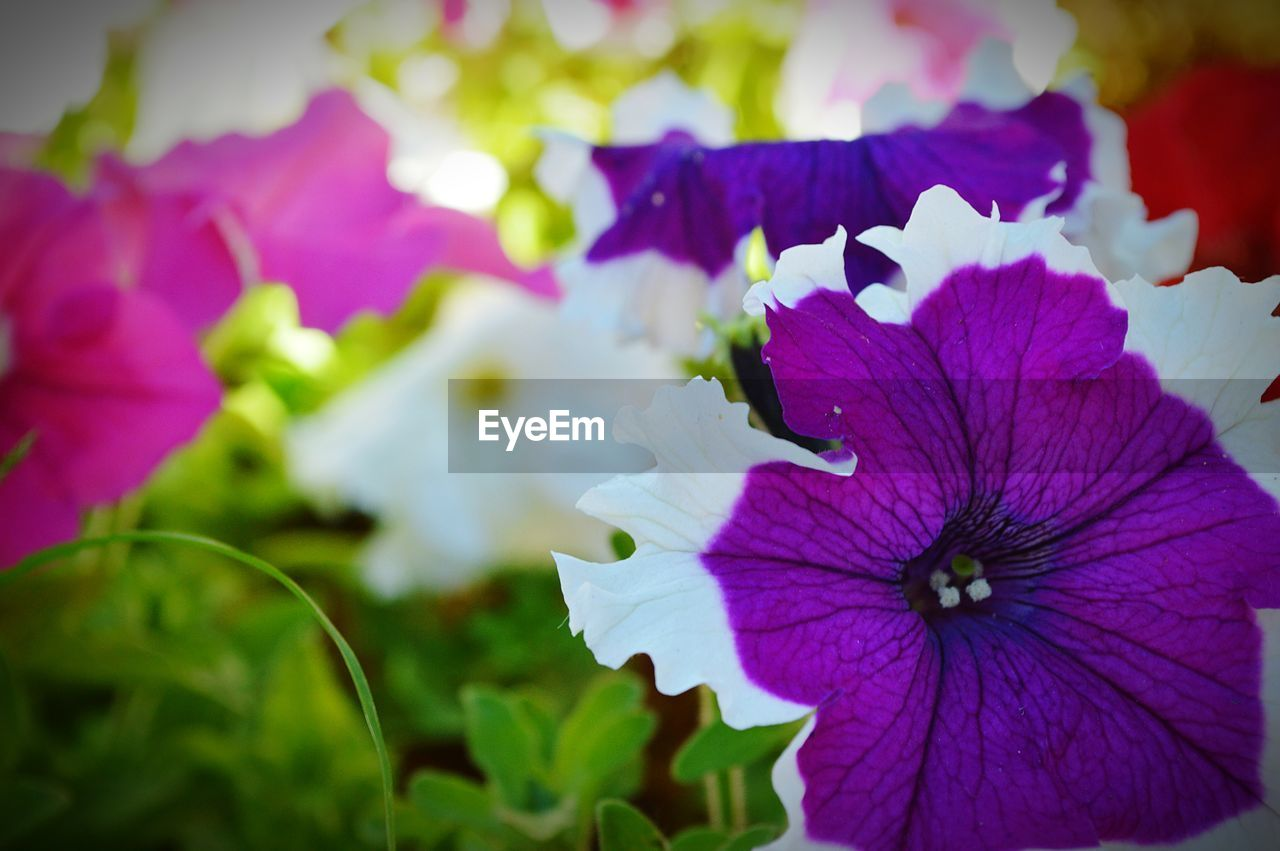 flower, petal, beauty in nature, fragility, growth, purple, nature, flower head, day, focus on foreground, close-up, freshness, plant, no people, blooming, outdoors, petunia