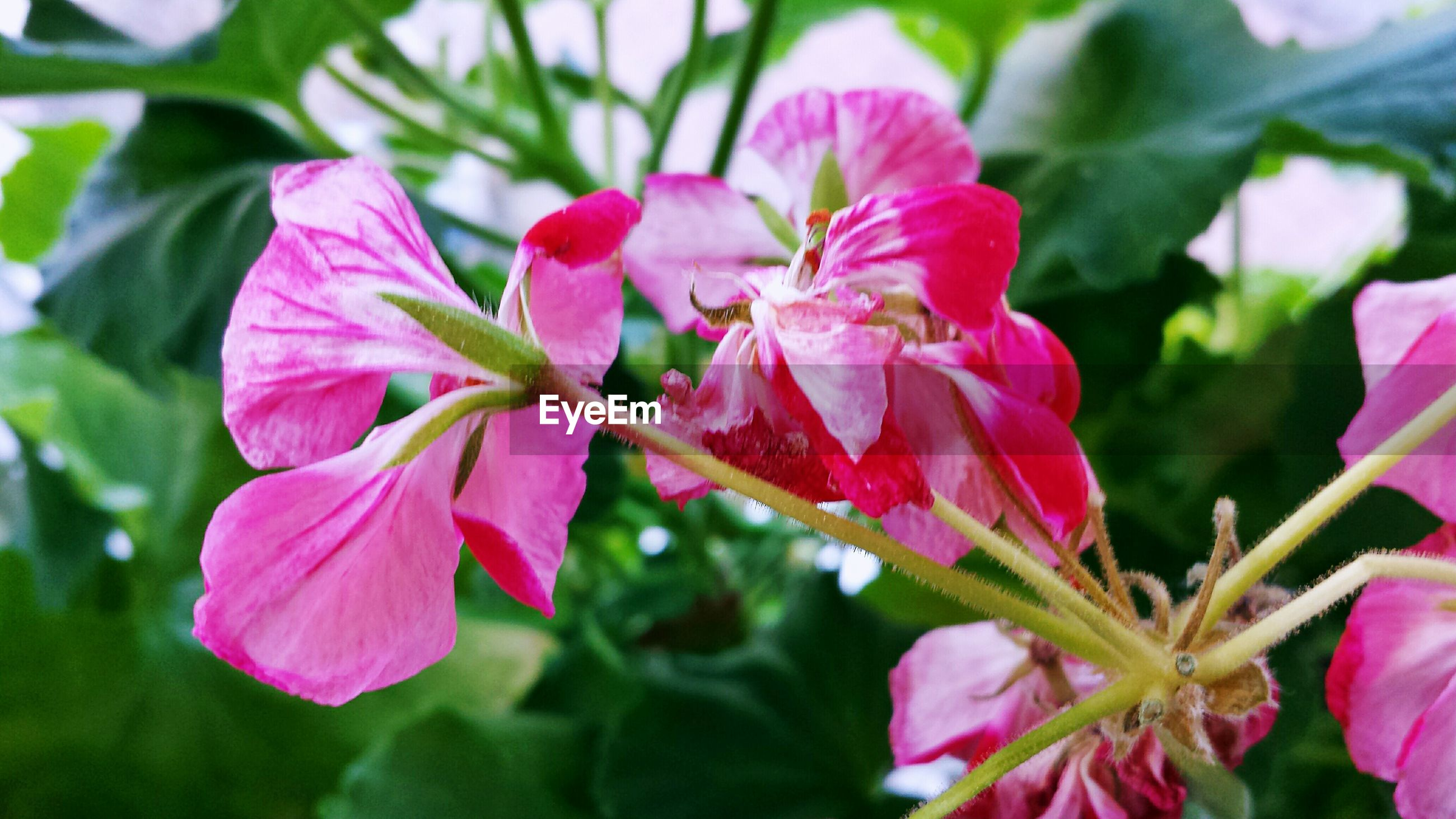 Close-up of pink flower blooming at park