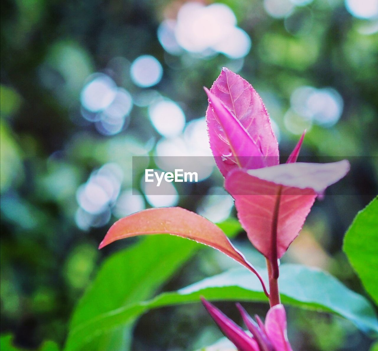 petal, growth, leaf, nature, beauty in nature, flower, pink color, outdoors, focus on foreground, day, no people, fragility, flower head, close-up, plant, blooming, freshness