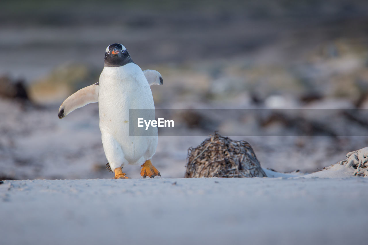 Close-up of penguin perching on beach