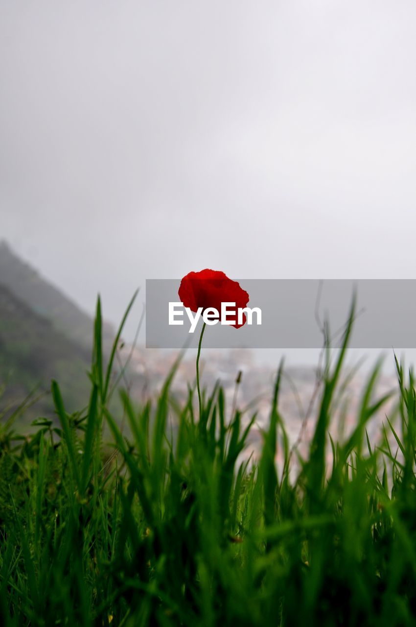plant, red, beauty in nature, growth, flower, fragility, freshness, flowering plant, nature, vulnerability, field, petal, grass, land, poppy, inflorescence, sky, selective focus, flower head, close-up, no people, outdoors