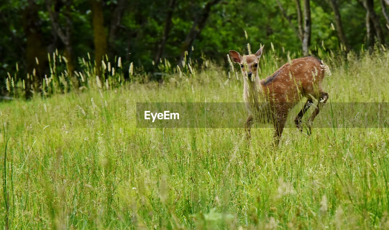plant, animal, grass, animal themes, land, animal wildlife, mammal, animals in the wild, field, vertebrate, nature, deer, no people, one animal, green color, day, growth, selective focus, standing, outdoors, herbivorous