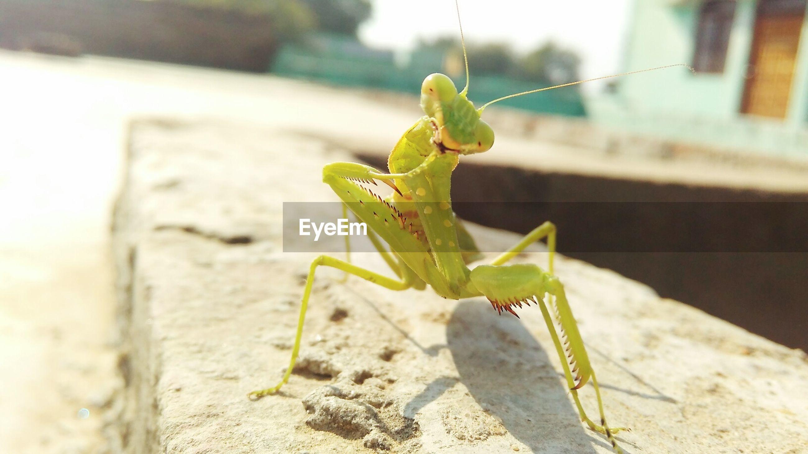 Portrait of praying mantis