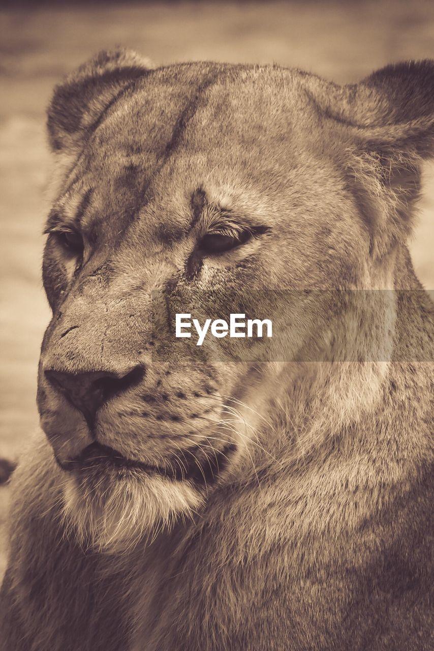 Close-Up Of Lioness