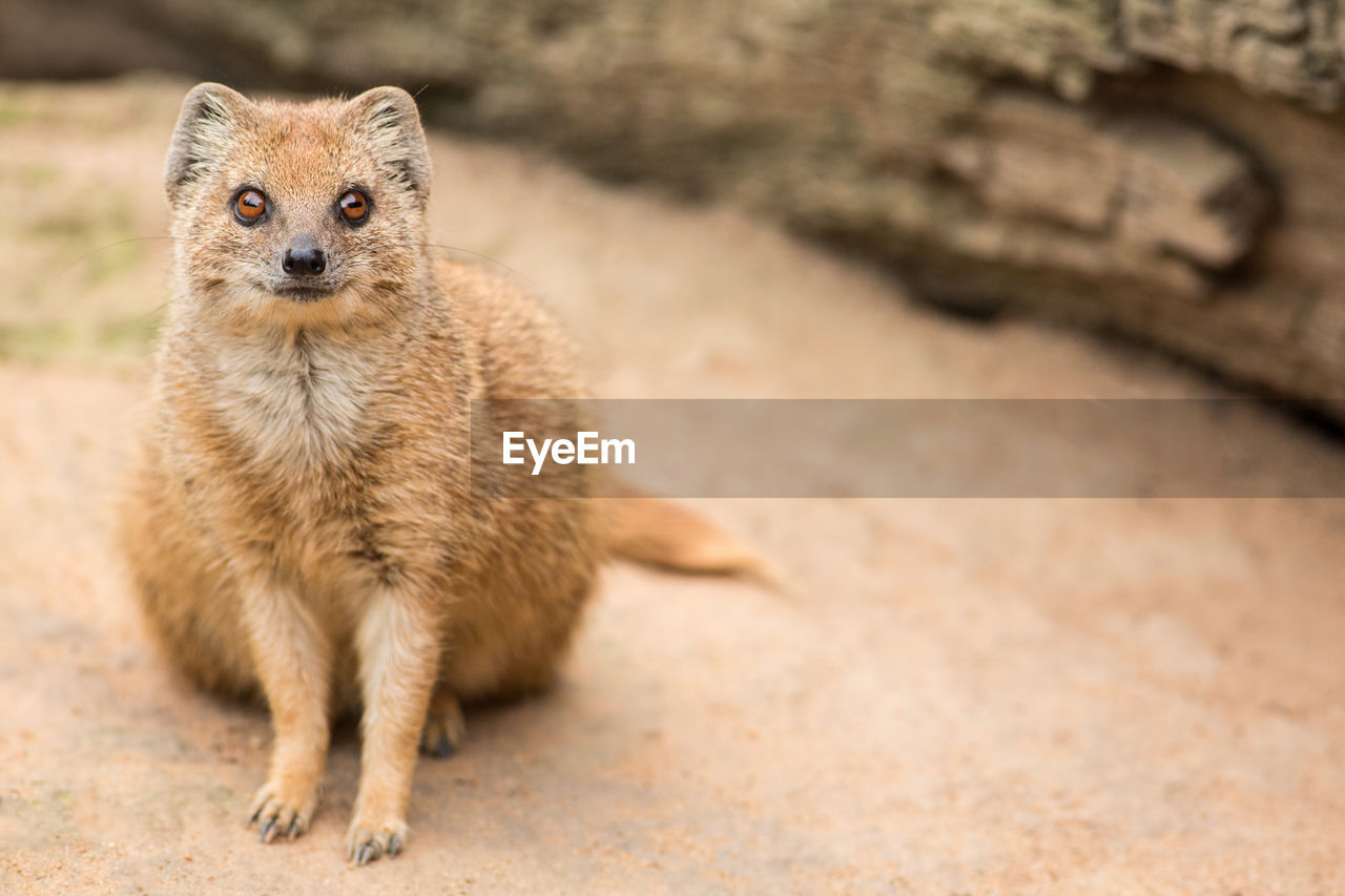 one animal, mammal, animals in the wild, animal wildlife, looking at camera, portrait, no people, vertebrate, day, focus on foreground, front view, nature, close-up, outdoors, land, young animal, full length, whisker