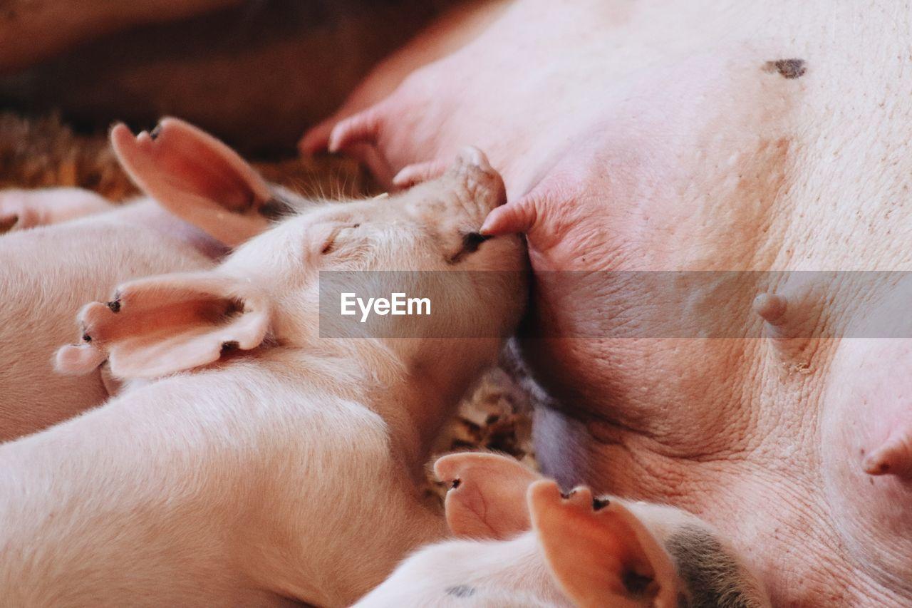 Close-up of baby pig nursing