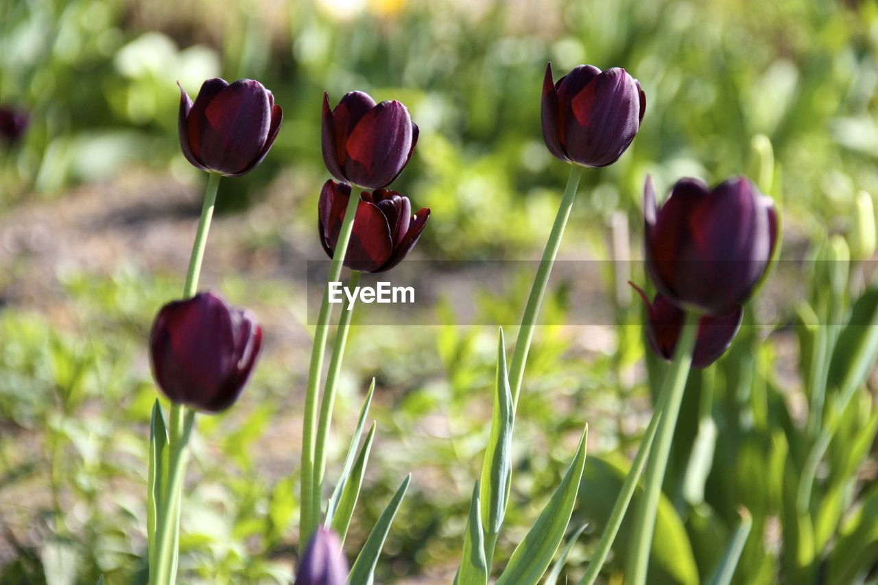 Purple tulip blooming on sunny day