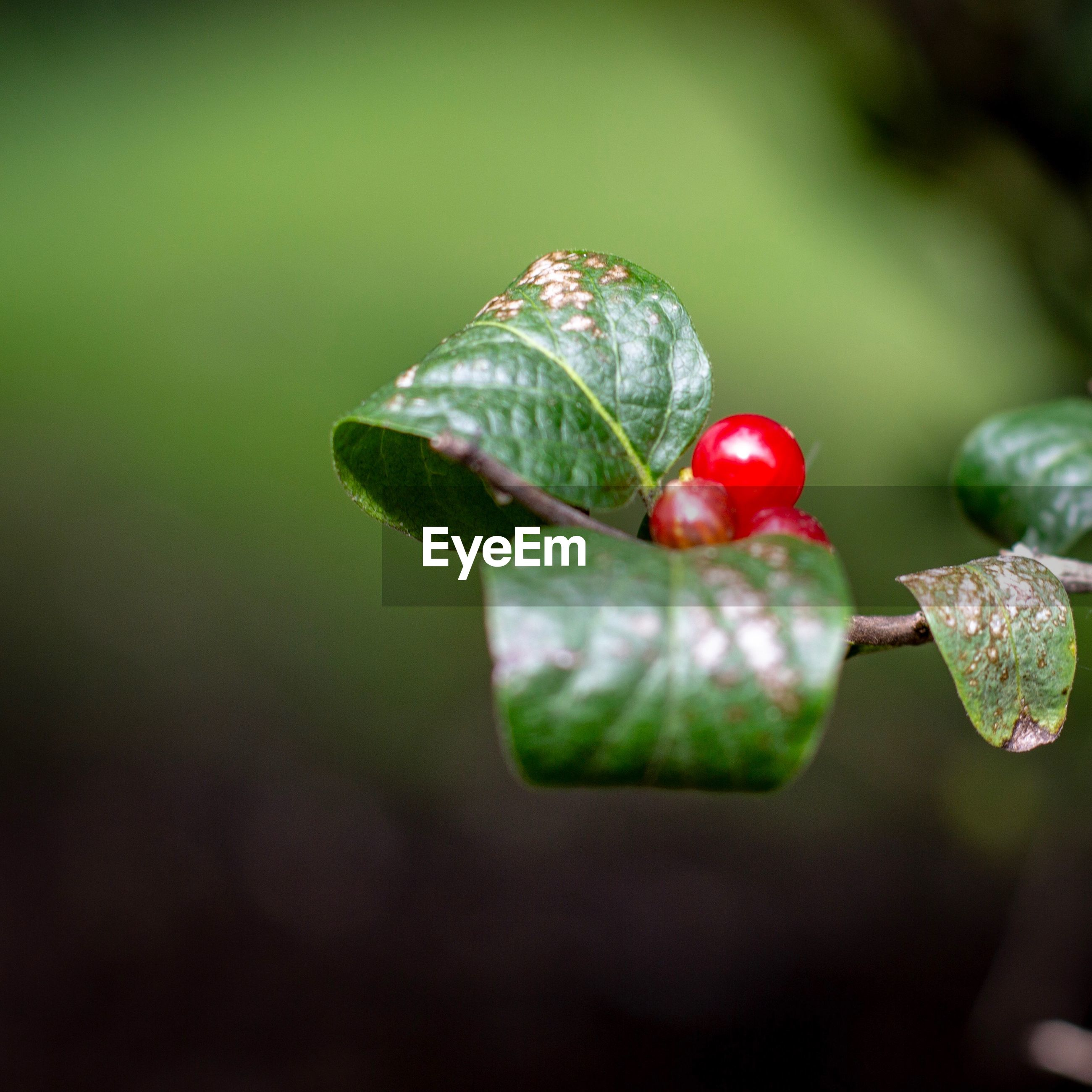 fruit, healthy eating, food and drink, food, freshness, close-up, growth, green color, plant, red, leaf, focus on foreground, no people, plant part, nature, day, beauty in nature, wellbeing, berry fruit, outdoors, ripe