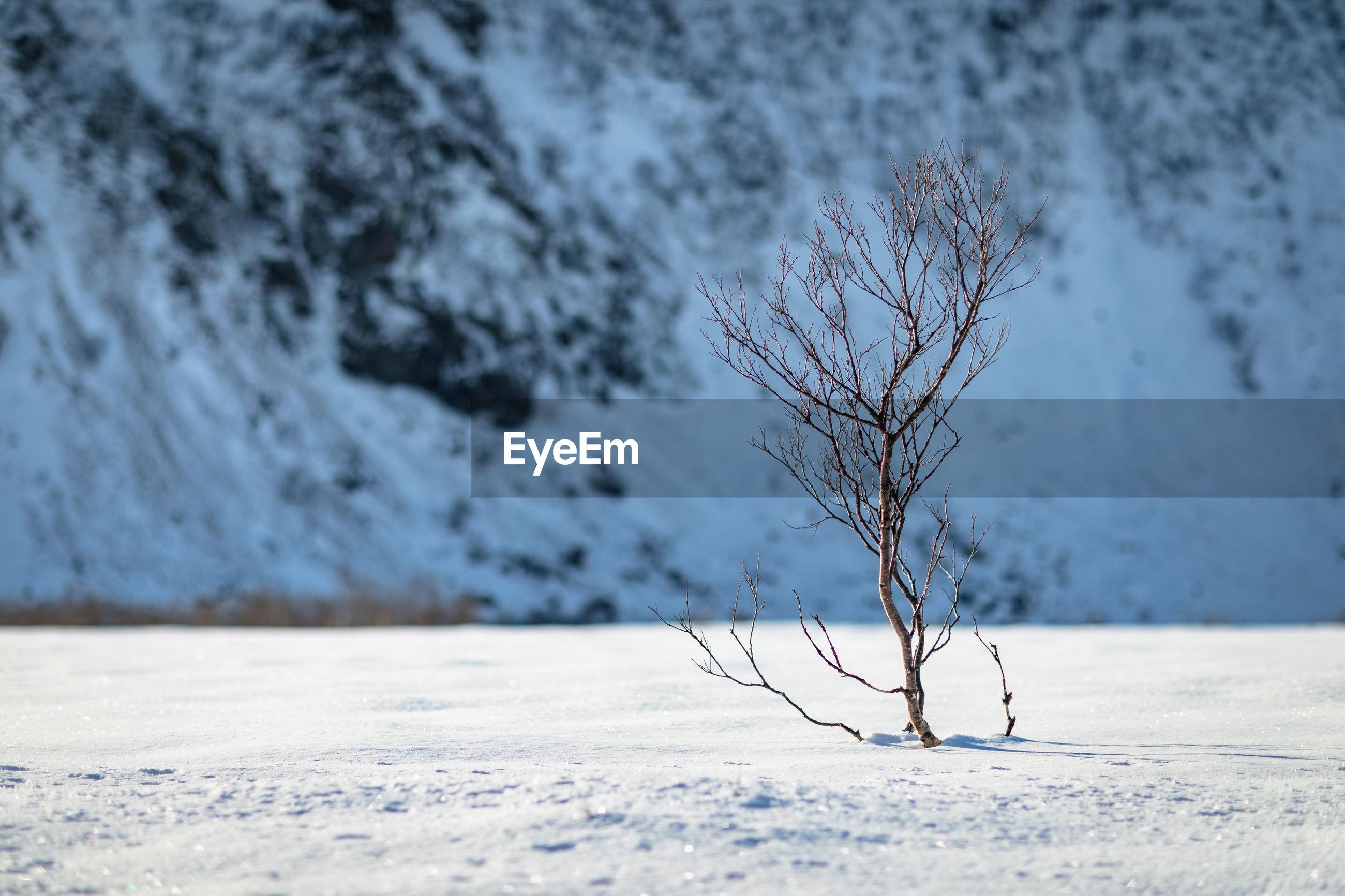 CLOSE-UP OF BARE TREE ON SNOW